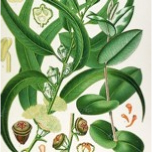 Eucalyptus Essential Oil Certified Organic