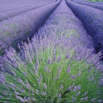 Lavender Essential Oil Certified Organic