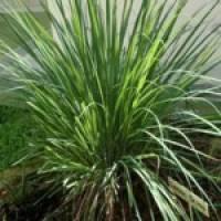 Lemongrass Essential Oil-Certified Organic