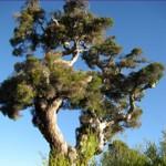 Tea Tree Essential Oil Certified Organic