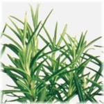 Rosemary Essential Oil - Certified Organic